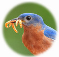 Live Mealworms for Wild Birds  Questions & Answers