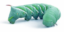 Hornworms Questions & Answers