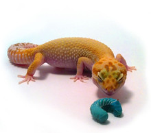 Gecko Sampler Pack Questions & Answers