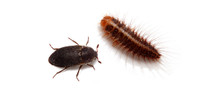Dermestid Beetle Larvae Questions & Answers
