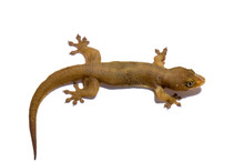 Will you have house geckos for sale again? We would like to adopt a few more as pets! They're really adorable !