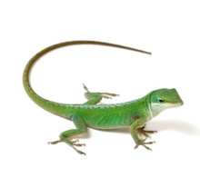 can these anoles work for snakes in asia for sake even though green anoles dont live there