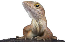Brown Anoles Questions & Answers